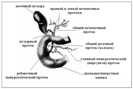 Схема желчных протоков