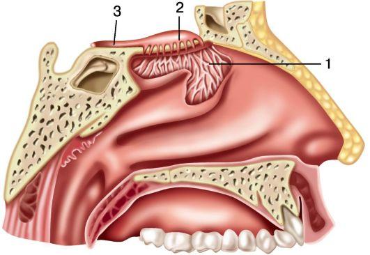 область полости носа: