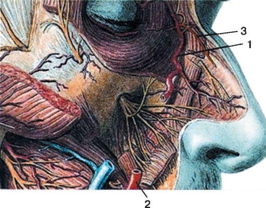 Кровоснабжение наружного носа: