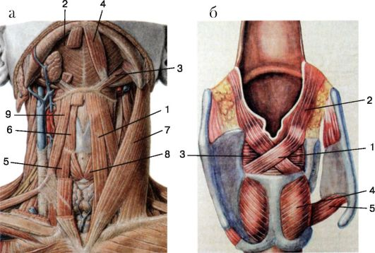 Мышцы гортани: