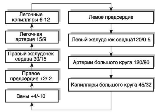 круга кровообращения (мм