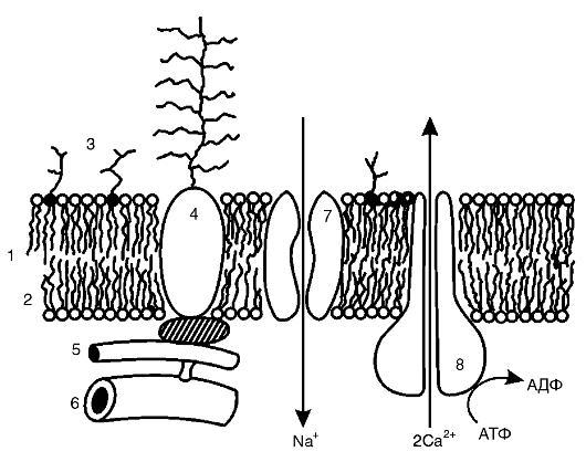Элементы биологических мембран
